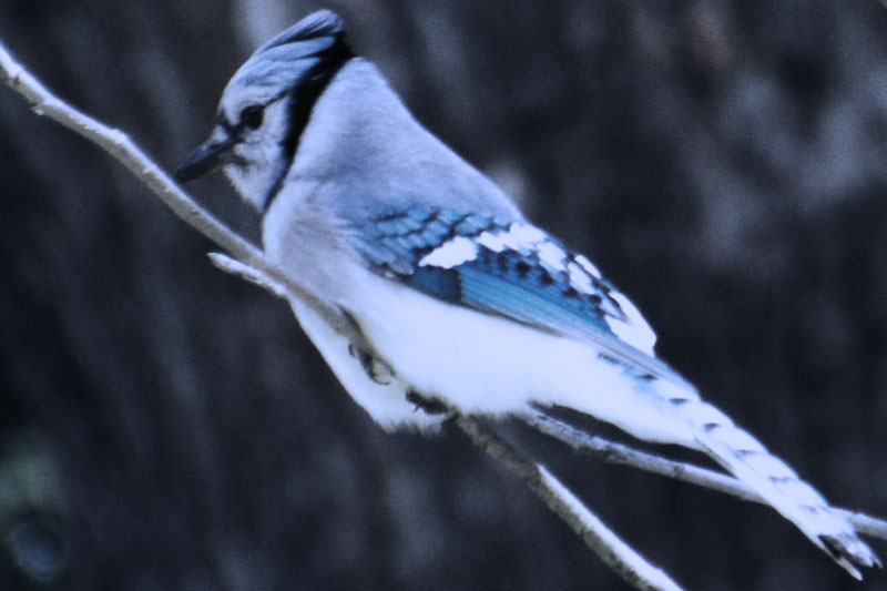 Lamenting with Blue Jays